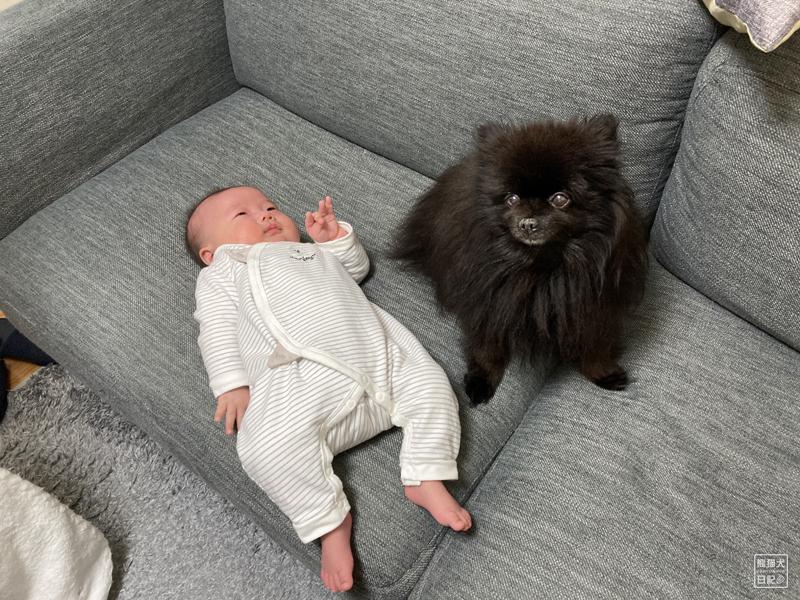 赤ちゃんと黒ポメラニアン