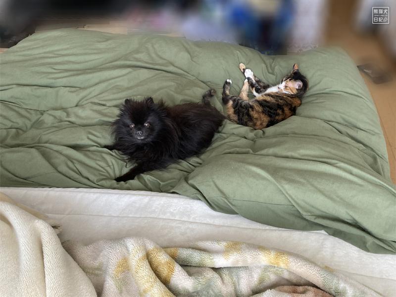 黒ポメラニアンと三毛猫