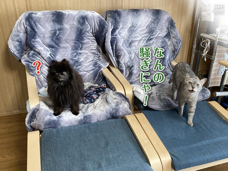 黒ポメラニアン真熊と猫