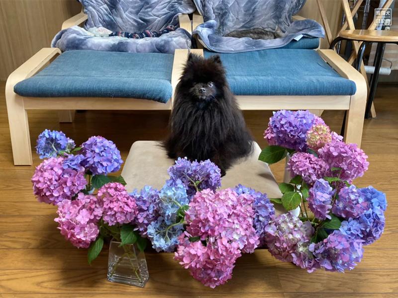紫陽花とポメラニアン